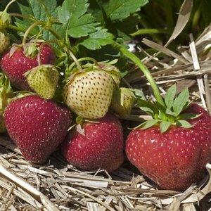 Strawberry Sonata Mid-season 25 count bundle